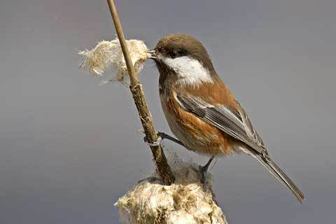 Chestnut-backed Chickadee. Photo by Larry Engles