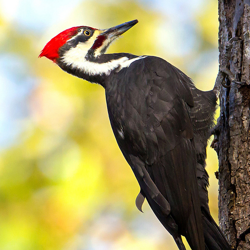 The Pileated Woodpecker is by Mick Thompson
