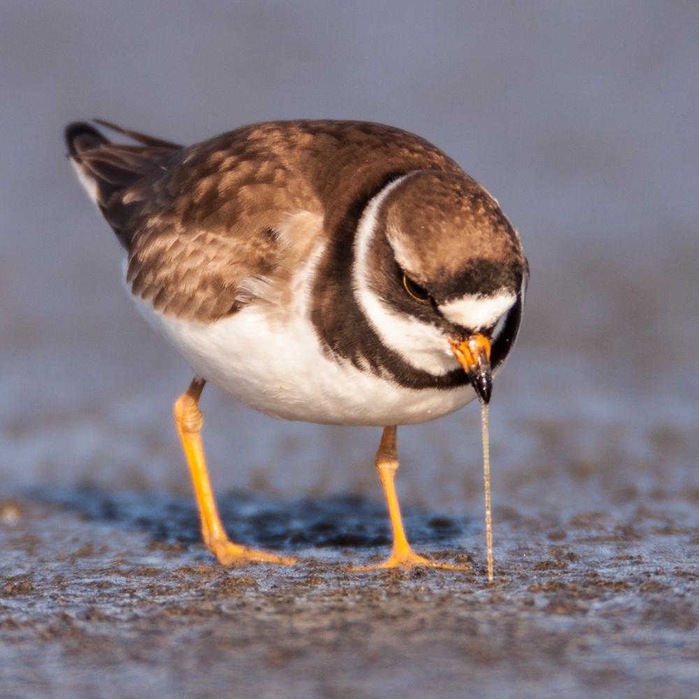The Semipalmated Plover is by Tim Boyer