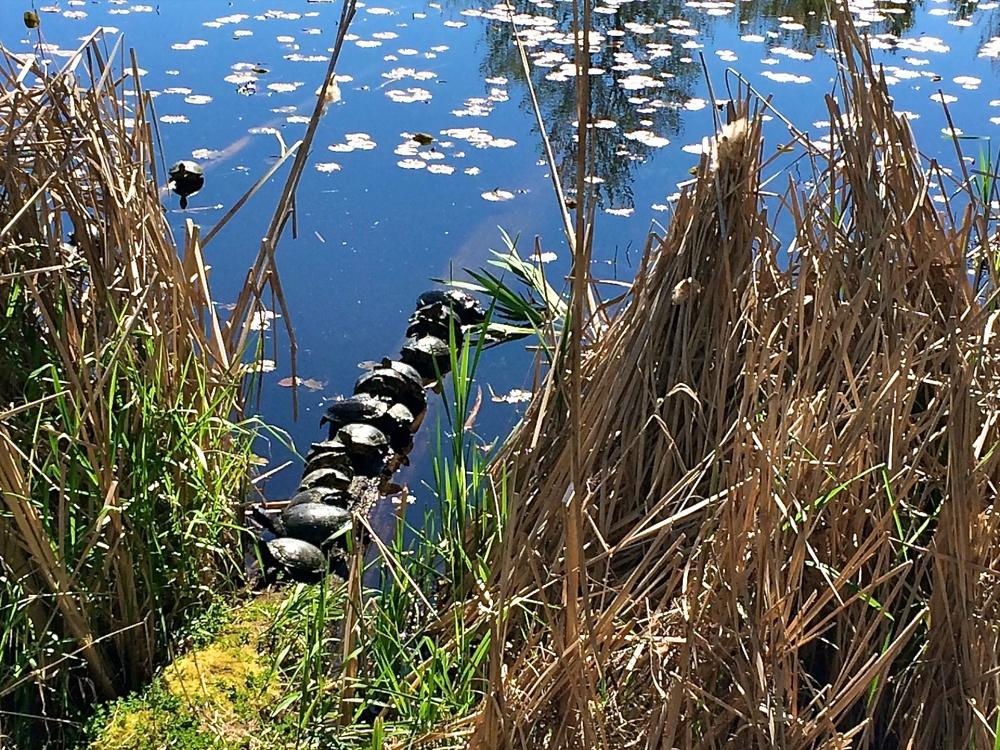 Turtles of Juanita Bay 13481.jpg