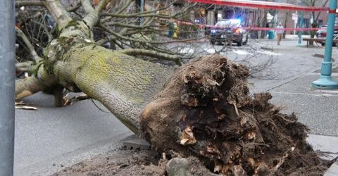 Fallen tree on Park Lane in 2011