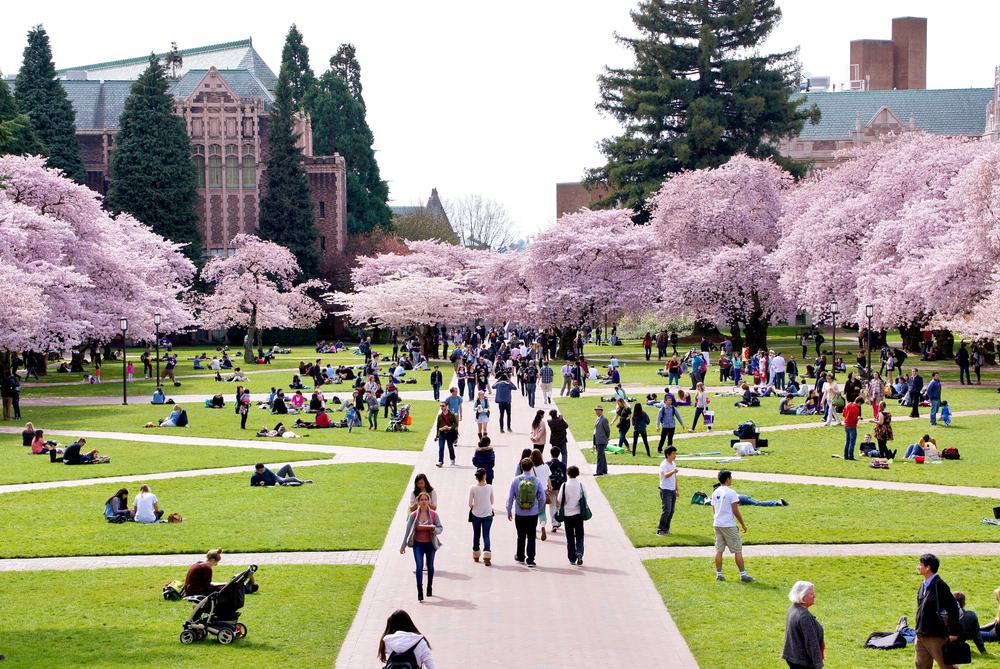 Cerejeiras são atração do campus da Universidade de Washington. Foto: Sea Turtle
