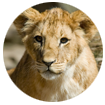 lioncub.png