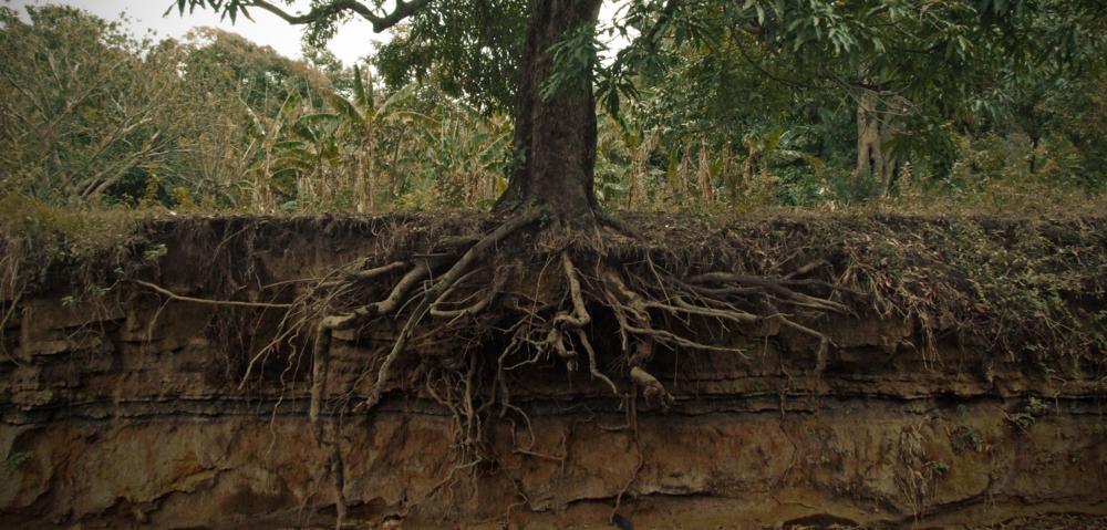 Exposed_mango_tree_roots.jpg