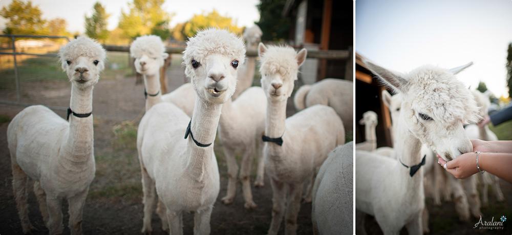 Alpaca_Wedding0049.jpg