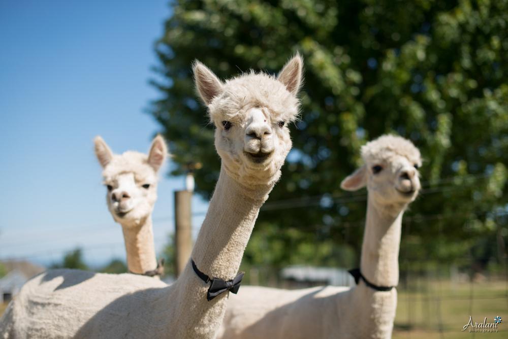 Alpaca_Wedding0001.jpg