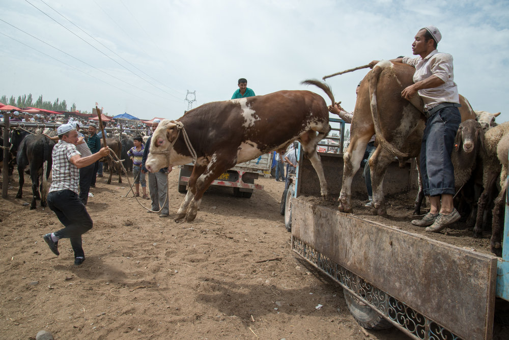 Getting cow off the truck, Live Animal Market