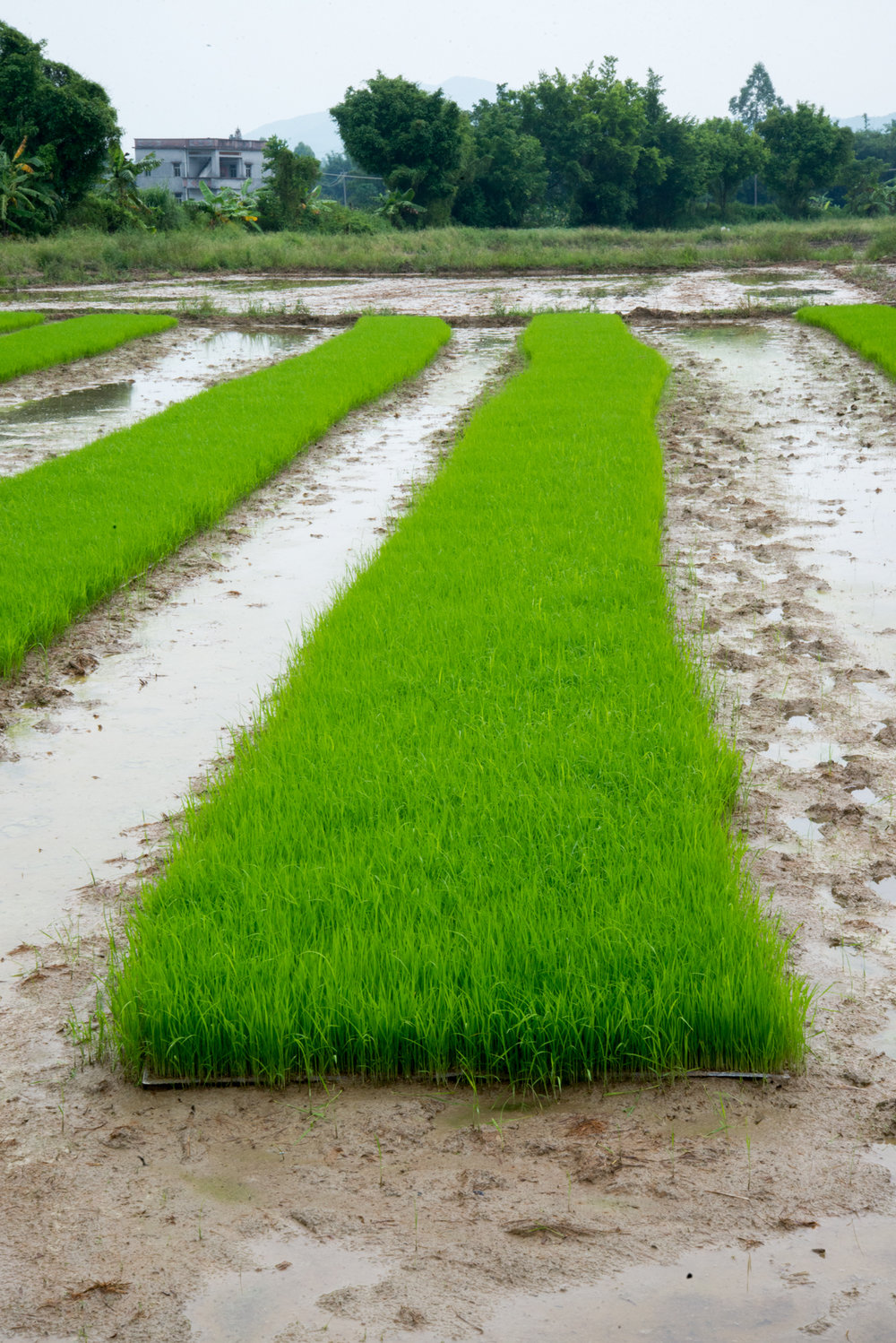 Rice Seedlings, Kaiping