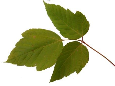 Boxelder Leaf_20.jpg