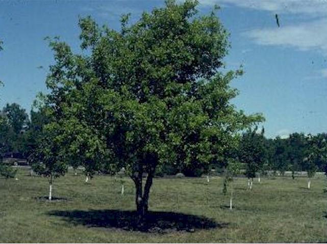 boxelder-tree.jpg