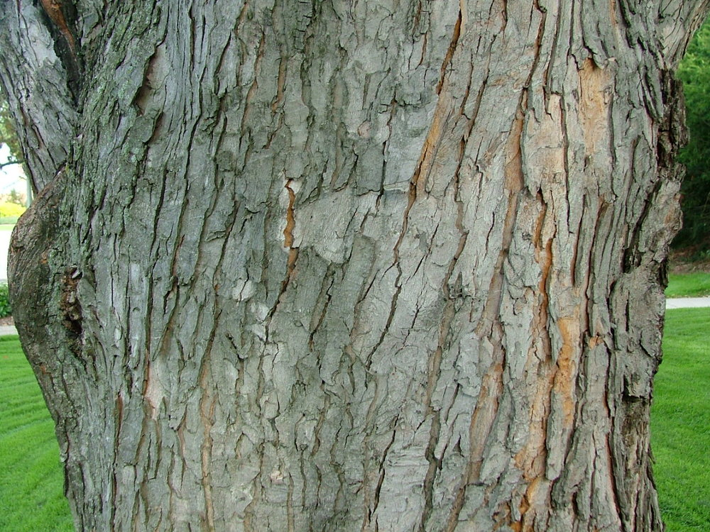 Silver_Maple_Bark.jpg