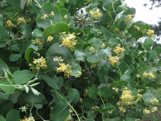 2009 - May 24th - Lonicera reticulata flowering HC.jpg