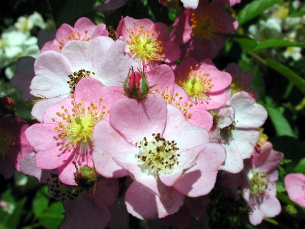 rosa_multiflora_pink.jpg