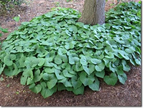 wild_ginger_asarum_canadense_seeds_aka_canadian_ginger_vigorous_groundcover_perennial__24b5e063.jpg