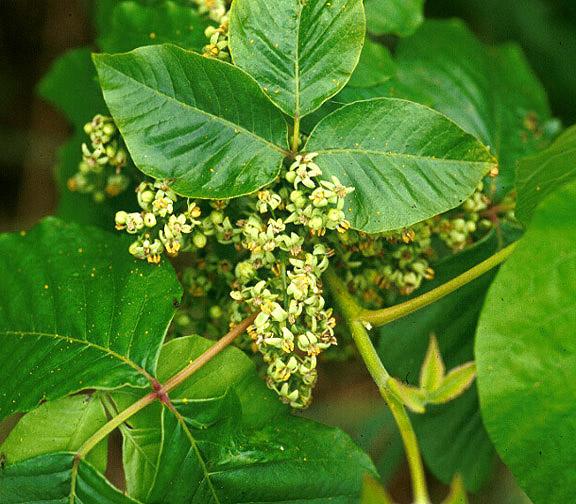 0420pivyflower.jpg