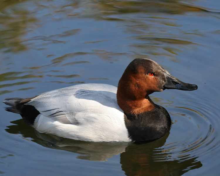 "- Canvasback (Aythya valisineria)Canvasbacks live in lakes, marshes, and other wetlands. Their diet consists of plant material such as tubers, leaves, and seeds, and aquatic insects and fish. They have a wingspan of about 3 ft. and weigh 2-3.5 lbs. The Canvasback mating call is ""krr-krr-krrr."" They are protected on the US Migratory Bird list.Frequency: RarePhoto Credits: John Schwarz (Male Pictured)"