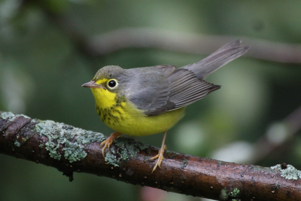 - Canada Warbler (Cardellina canadensis)Canada Warblers live in mixed forests and near moist areas such as swamps and streams. Their diet consists of insects and arachnids. They have a wingspan of 6.7-8.7 in. and weigh 0.3-0.5 oz. Their call is a rapid chittering series. They are protected on the US Migratory Bird list.Frequency: FairPhoto Credits: Jeremy Meyer