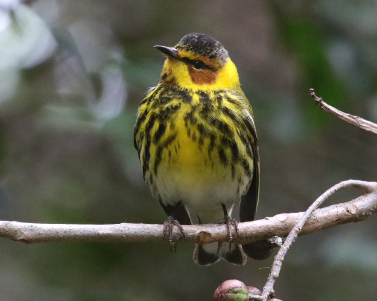 "- Cape May Warbler (Setophaga tigrina)Cape May Warblers live in coniferous forests. Their diet consists of insects and fruit. They weigh 0.3-0.4 oz. and have a wingspan of 7.5-8.7 in. Cape May Warblers have a ""seet"" call that is repeated 4-8 times. They are protected on the US Migratory Bird list.Frequency: UncommonPhoto Credits: John Schwarz"
