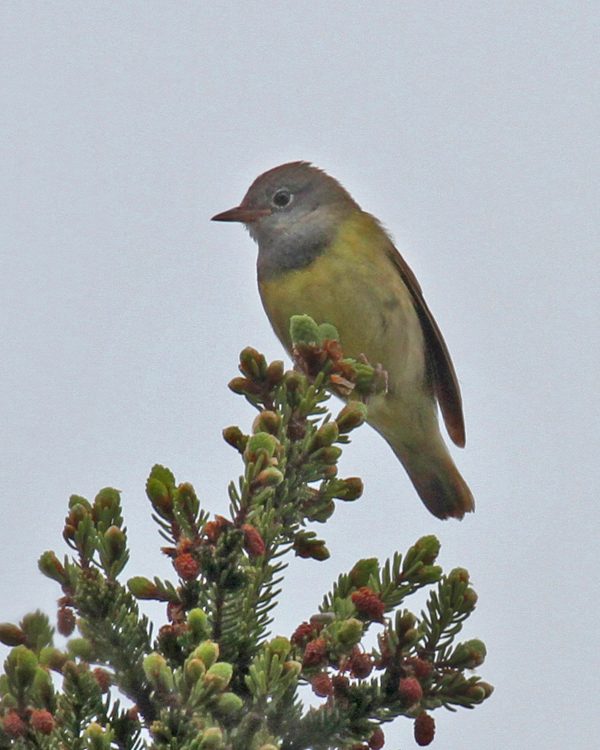 "- Connecticut Warbler (Oporornis agilis)Connecticut Warblers live in spruce bogs and thickets. Their diet consists of insects, arachnids, and fruit. They weigh about 0.5 oz. and have a wingspan of about 8.7 in. Though they are named Connecticut Warblers because the first bird was recorded there, Connecticut Warblers are rarely seen in Connecticut. Their call is a chirpy ""beecher-beecher-beecher-beech."" They are protected on the US Migratory Bird list.Frequency: RarePhoto Credits: John Schwarz"