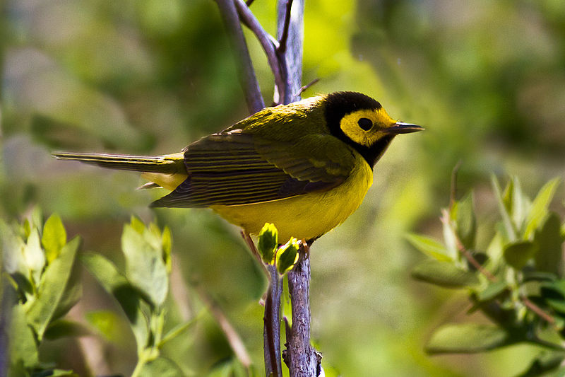 "- Hooded Warbler (Setophaga citrina)Hooded Warblers live in deciduous and mixed forest undergrowth. Their diet includes insects and arachnids. Hooded Warblers weigh 0.3-0.4 oz. and are about 5 in. in length. Their call is ""ta-wit ta-wit ta-wit tee-o."" They are protected on the US Migratory Bird list.Frequency: RarePhoto Credits: Ken Janes"