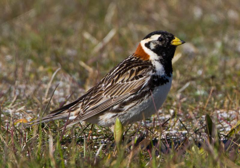 - Lapland Longspur (Calcarius lapponicus)Lapland Longspurs live in open areas such as fields and tundra. Their diet consists of seeds and insects such as flies. Their wingspan is 8.7-11 in. and they weigh 0.8-1.2 oz. Lapland Longspurs' songs sound similar to the Red-winged Blackbirds, but are bubblier and chirpier. They are protected on the US Migratory Bird list.Frequency: RarePhoto Credits: Ómar Runólfsson