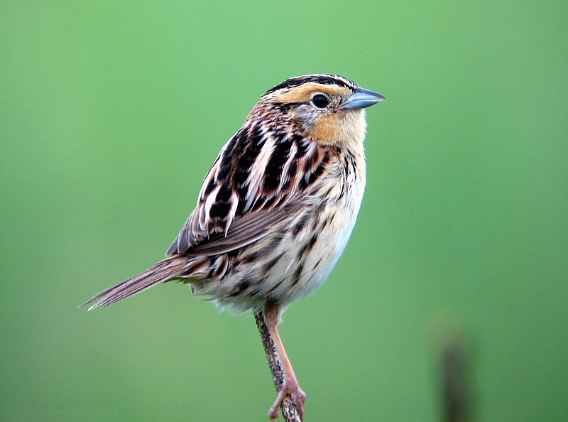 - LeConte's Sparrow (Ammodramus lecontei)LeConte's Sparrows live in open, grassy areas such as meadows, marshes, and prairies. They eat insects, spiders, and seeds. They weigh 0.4-0.6 oz. and have an average wingspan of 7.1 in. LeConte's Sparrows make a sound that is two buzzing noises, one long, one short. They are protected on the US Migratory Bird list.Frequency: RarePhoto Credits: Laura Erickson