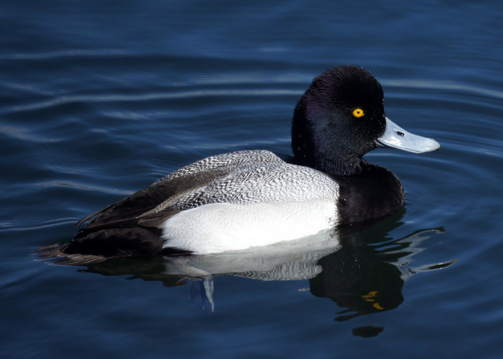 "- Lesser Scaup (Aythya affinis)Lesser Scaups can be found in bodies of water such as lakes and ponds, and in marshes and wetlands. Their diet consists of mollusks, crustaceans, and aquatic plant material. They weigh 1-2.5 lbs. and have a wingspan of 2-2.5 ft. Female Lesser Scaups make a ""garf, garf"" noise during mating season and males make a ""whe-o"" sound. They are protected on the US Migratory Bird list.Frequency: RarePhoto Credits: Mike's Birds"
