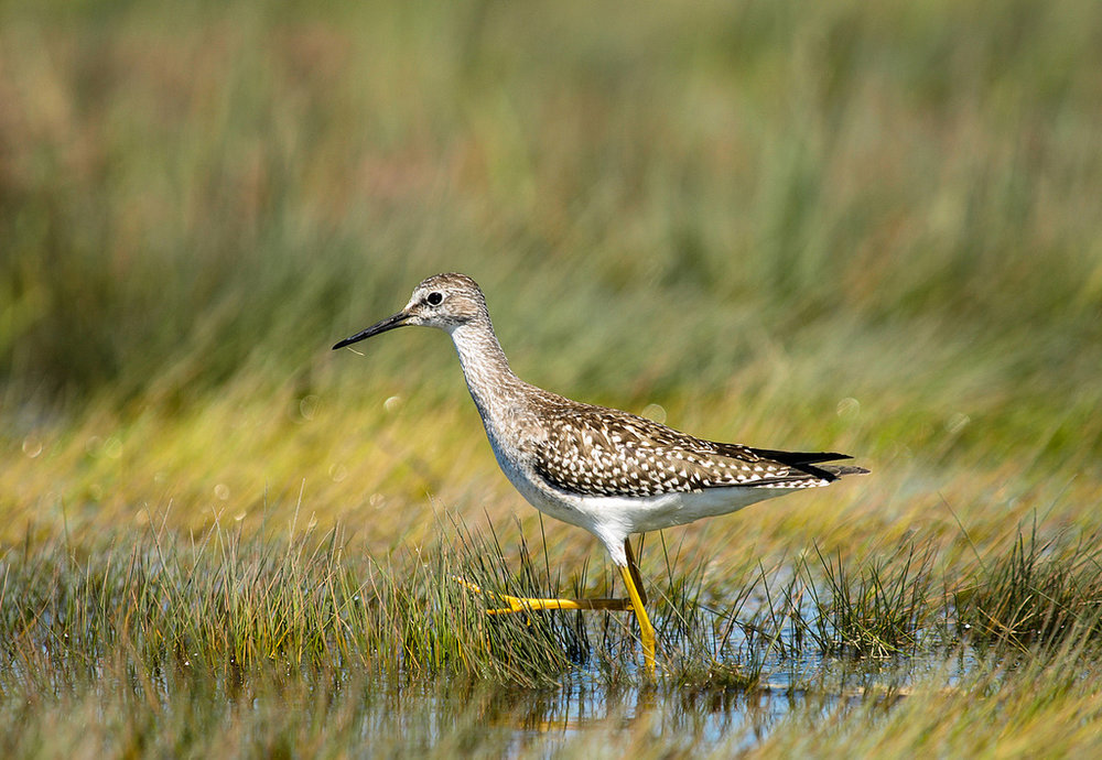 "- Lesser Yellowlegs (Tringa flavipes)Lesser Yellowlegs live in boreal forests and wetlands such as marshes and ponds. Their diet includes insects, fish, crustaceans, and mollusks. Their wingspan is 23.2-25.2 in. and they weigh 2.4-3.3 oz. Lesser Yellowlegs make a ""tu-tu"" noise. They are protected on the US Migratory Bird list.Frequency: RarePhoto Credits: USFWS"