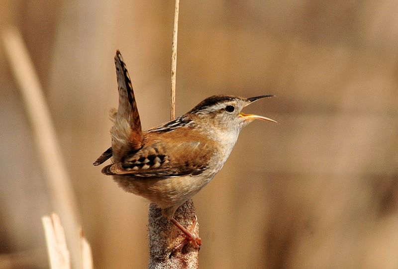 - Marsh Wren (Cistothorus palustris)Marsh Wrens live in marshes with reeds. Their diet consists of insects, arachnids, and other invertebrates. They weigh 0.3-0.5 oz. and are 3.9-5.5 in. long. Marsh Wrens make a high pitched trilling noise. They are protected on the US Migratory Bird list.Frequency: RarePhoto Credits: Tom Keorner