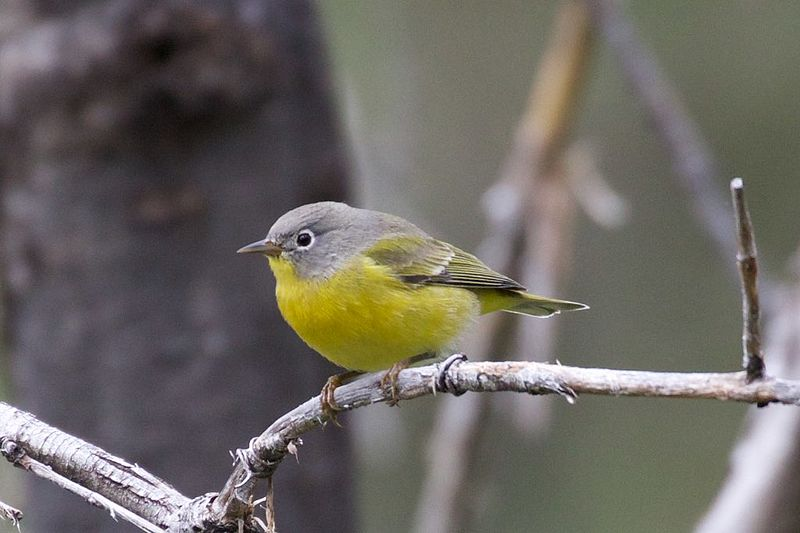"- Nashville Warbler (Oreothlypis ruficapilla)Nashville Warblers live in coniferous and deciduous forests. Their diet is predominantly insects. They can grow to be 0.2-0.4 oz. and have a wingspan of 6.7-7.9 in. They sing ""teebit-teebit-teebit"" and ""chipper-chipper-chipper."" Nashville Warblers are considered ""Climate Threatened,"" which means that climate change could potentially threaten their population. They are protected on the US Migratory Bird lists.Frequency: FairPhoto Credits: HormonyonPlanetEarth"