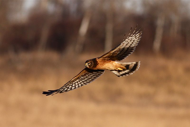"- Northern Harrier (Circus cyaneus)North America is home to only one type of harrier, the Northern Harrier. Its facial features resemble those of owls more than hawks. They live in open areas such as marshes, prairies, and meadows. Their diet consists of small mammals, birds, large insects, reptiles, and amphibians. Northern Harriers are usually 10.6-26.5 oz. and have a wingspan of 3.4-3.9 ft. Their call consists of various ""kek"" notes. They are protected on the US Migratory Bird list.Frequency: RarePhoto Credits: dfaulder"
