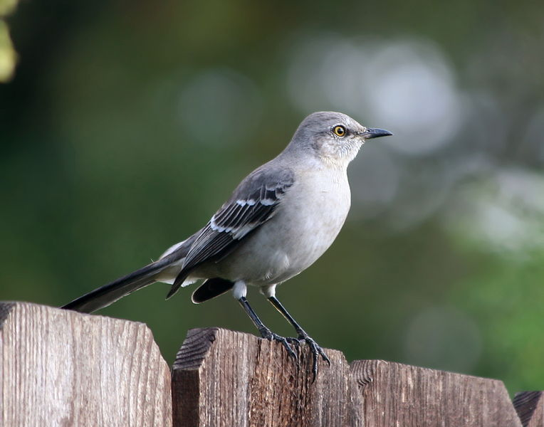 - Northern Mockingbird (Mimus polyglottos)Northern Mockingbirds live in open areas with dense undergrowth such as thickets, brush, and also in urban areas such as neighborhoods and parks. Their diet includes insects, berries, and fruit. They weigh 1.6-2 oz. and have a wingspan of 12.2-13.8 in. Northern Mockingbird are named for their ability to mimic other birds' songs. They are protected on the US Migratory Bird list.  Frequency: RarePhoto Credits: Calibas (Wikimedia Commons)