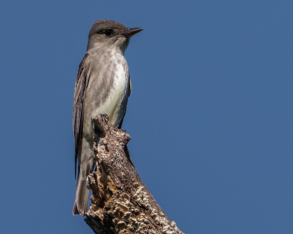 "- Olive-sided Flycatcher (Contopus cooperi)Olive-sided Flycatchers live in coniferous forests and their edges. Their diet consists of flying insects. They are 7.1-7.9 in. tall and weigh 1.1-1.3 oz. Olive-sided Flycatchers sing ""quick-THREE-BEERS"" and their call is ""pip-pip-pip."" They are protected on the US Migratory Bird list.Frequency: UncommonPhoto Credits: Becky Matsubara"