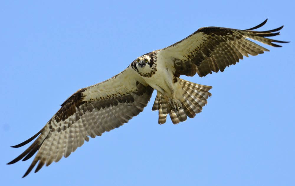 - Osprey (Pandion haliaetus)Ospreys prefer to live by bodies of water where food is abundant. They weigh about 49.4 to 70.5 oz. with a wingspan of 59.1-70.9 in. The average lifespan for an Osprey is about 25 years. They communicate by using visual display, flight displays, and giving calls/alarms that are usually high pitched. They eat predominantly fish, but occasionally snack on mammals and other birds. They are protected on the US Migratory Bird lists.Frequency: RarePhoto Credits: Gareth Rasberry