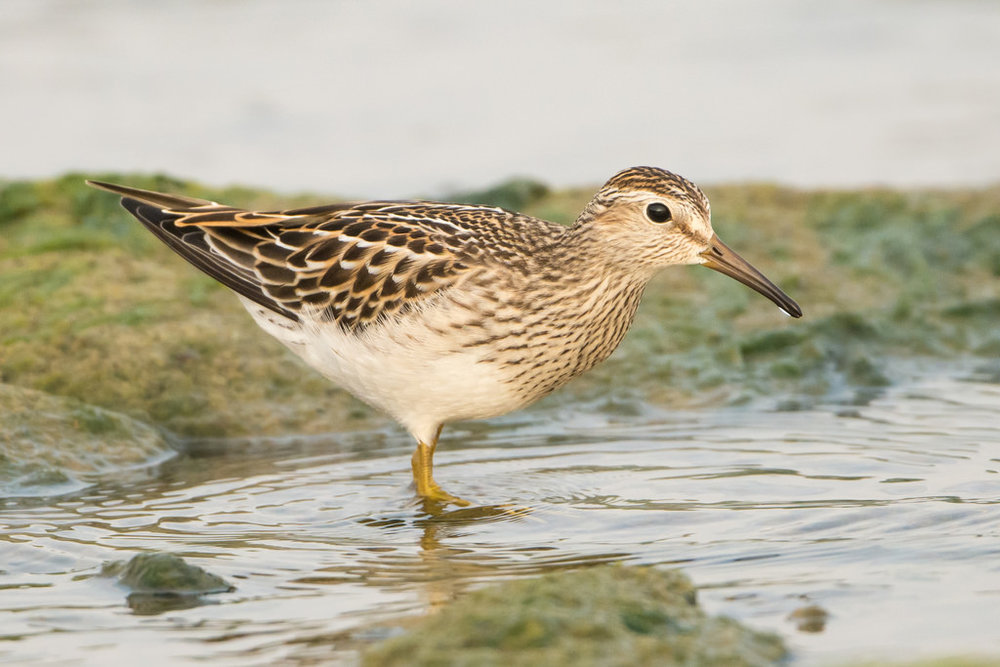 "- Pectoral Sandpiper (Calidris melanotos)Pectoral Sandpipers live in wetland areas such as tundra, marshes, and mudflats. They eat insects, spiders, and crustaceans. Their average wingspan is 16.9 in. and they weigh 1.4-3.7 oz. Pectoral Sandpiper males have a pouch in their throat where they store air for mating displays. This is where they get their ""pectoral"" name. Their calls are ""kuurp""s and gurgling noises. They are protected on the US Migratory Bird list.Frequency: RarePhoto Credits: Andrew Cannizzaro"