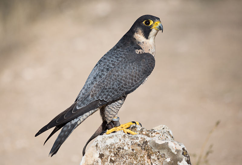 "- Peregrine Falcon (Falco peregrinus)The Peregrine Falcon is the largest falcon in North America and can be found on every continent besides Antarctica. They are most commonly found on cliffsides near open areas. Their diet consists mostly of other birds, but also includes small mammals and stolen prey such as fish. Peregrine Falcons have a wingspan of 3.3-3.6 ft. and weigh 1.2-3.5 lbs. Their call is a ""kak-kak-kak."" They are protected on the US Migratory Bird list.Frequency: RarePhoto Credits: Carlos Delgado"