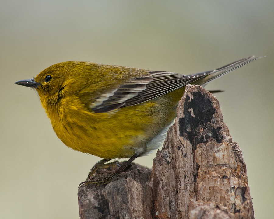 - Pine Warbler (Setophaga pinus)Pine Warblers live, as their name suggests, in pine forests. They eat insects, arachnids, seeds, fruit, and berries. Their wingspan is 7.5-9.1 in. and they weigh 0.3-0.5 oz. Pine Warblers sing a series of trills. They are protected on the US Migratory Bird list.Frequency: RarePhoto Credits: Mickey Estes
