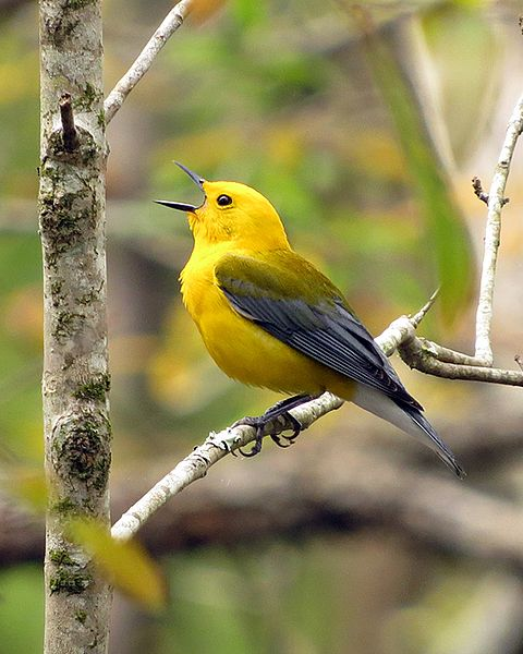 "- Prothonotary Warbler (Protonotaria citrea)Prothonotary Warblers live in wet wooded areas such as swamps and flooded forests. Their diet consists of insects, other invertebrates such as snails, fruit, and seeds. Prothonotary Warblers are slightly smaller than Song Sparrows. Their name comes from their bright yellow plumage that resembles the robes of Roman Catholic Prothonotaries. Their call is a series of ""tweet-tweet-tweet-tweet-tweet"" sounds. They are protected on the US Migratory Bird list.Frequency: RarePhoto Credits: Don Faulkner"