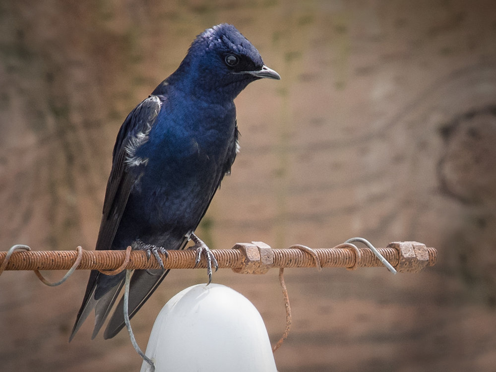 "- Purple Martin (Progne subis)Purple Martins live near water where tree cavities or banks are abundant for burrows. They also roost in nesting boxes. In certain situations, they make calls such as ""hee-hee,"" ""choo,"" or ""zwack/zweet."" Purple Martins weigh 1.6-2.1 oz. and have a wingspan of 15.4-16.1 in. Their diet consists of flying insects, just like other swallows. They are protected on the US Migratory Bird lists.Frequency: RarePhoto Credits: Ingrid Taylar"