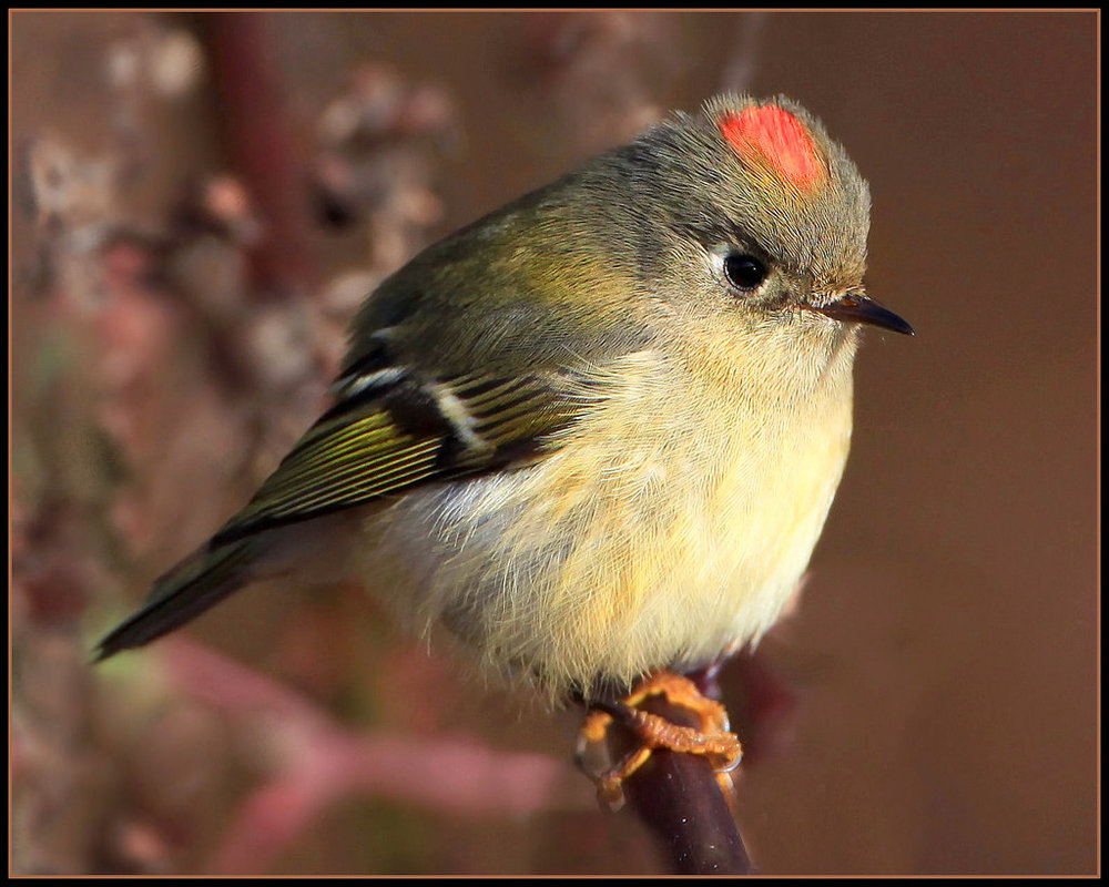 - Ruby-crowned Kinglet (Regulus calendula)Ruby-crowned Kinglets live mostly in coniferous forests, but also live in mixed woodlands. Their main diet is insects, and they occasionally eat berries and seeds. Their wingspan is 6.3-7.1 in. and they weigh 0.2-0.4 oz. Ruby-crowned Kinglets chatter and twitter. They are protected on the US Migratory Bird lists.Frequency: CommonPhoto Credits: Nigel
