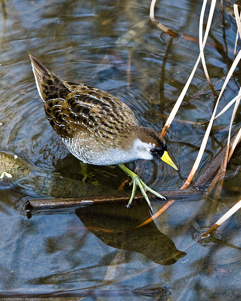 "- Sora (Porzana carolina)The Sora lives in wetland areas such as marshes and along the edges of large bodies of water. They eat seeds and invertebrates such as insects and snails. Soras weigh 1.7-4 oz. and are about 7.9-9.8 in. in height. They have multiple calls, some of which are ""sor-AH"" and a repeated ""ker-wee."" They are protected on the US Migratory Bird list.Frequency: RarePhoto Credits: Mike Baird"