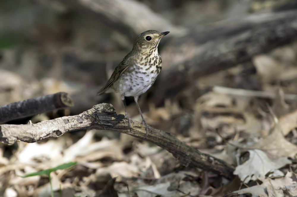 - Swainson's Thrush (Catharus ustulatus)Swainson's Thrushes live in coniferous forests near streams. Their diet consists of insects and berries. Their wingspan is 11.4-12.2 in. and they weigh 0.8-1.6 oz. Swainson's Thrushes sing a musical, reedy song that increases in pitch. They are protected on the US Migratory Bird list.Frequency: FairPhoto Credits: Kelly Colgan Azar