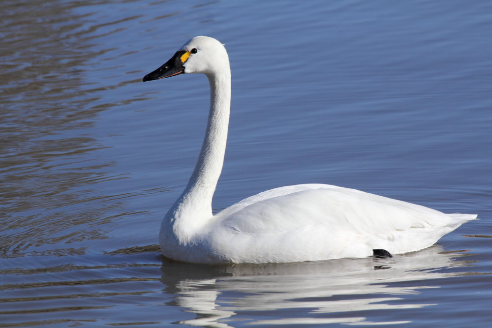 - Tundra Swan (Cygnus columbianus)Tundra Swans live in the tundra of North America, lakes, rivers, and other wetland areas. They eat aquatic plant matter, mollusks, and arthropods. They have an average wingspan of 5.5 ft. and weigh 8.4-23.2 lbs. Tundra Swans make high-pitched bugling noises. They are protected on the US Migratory Bird list.Frequency: RarePhoto Credits: Dominic Sherony