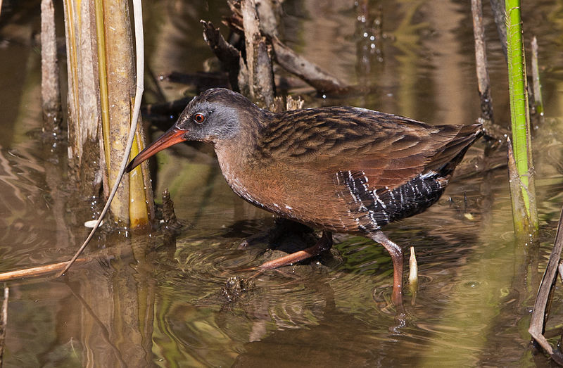 "- Virginia Rail (Rallus limicola)Virginia Rails live in marshes. They eat insects, crustaceans, fish, and seeds. Their wingspan is 12.6-15 in. and they weigh 2.3-3.4 oz. Virginia Rails sing a repeated, clicking ""kid-ick"" noise. They are protected on the US Migratory Bird list.Frequency: RarePhoto Credits: Mike Baird"