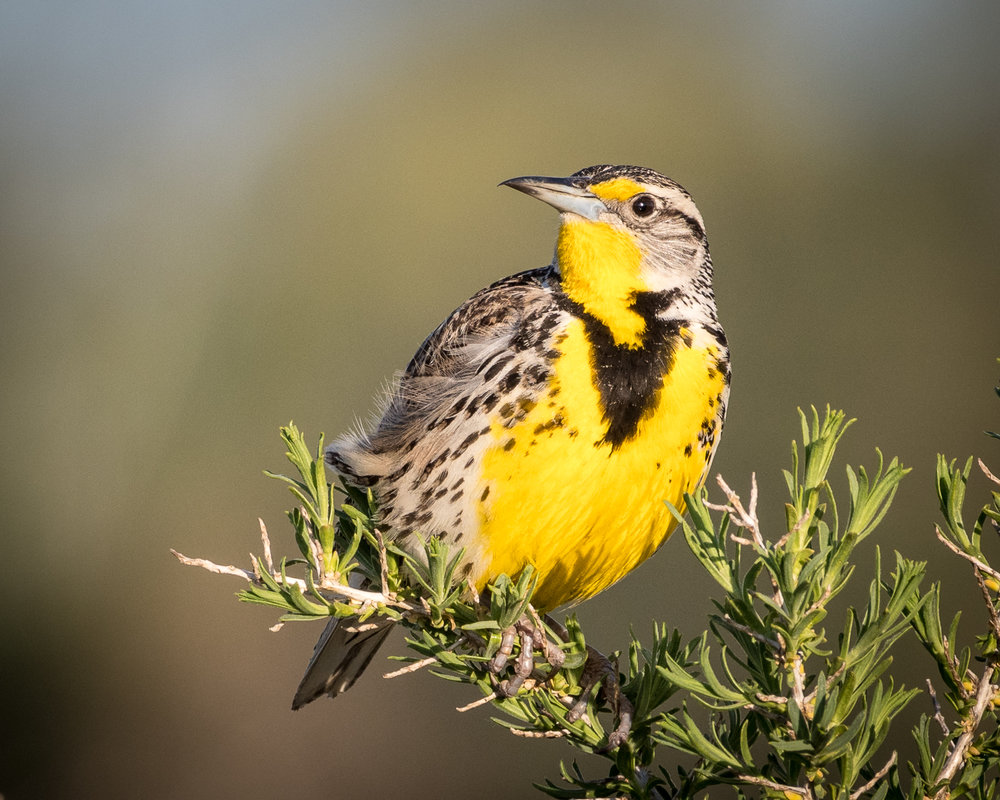 - Western Meadowlark (Sturnella neglecta)Western Meadowlarks live in open areas such as meadows, grasslands, prairies, and agricultural fields. They eat insects, arachnids, and seeds. Their wingspan is about 16 in. and they weigh 3.1-4.1 oz. Western Meadowlarks look practically identical to Eastern Meadowlarks, but can be differentiated most easily by their call. Their call is a series of descending gurgles, whereas the Eastern Meadowlark most commonly whistle. They are protected on the US Migratory Bird list.Frequency: RarePhoto Credits: Becky Matsubara