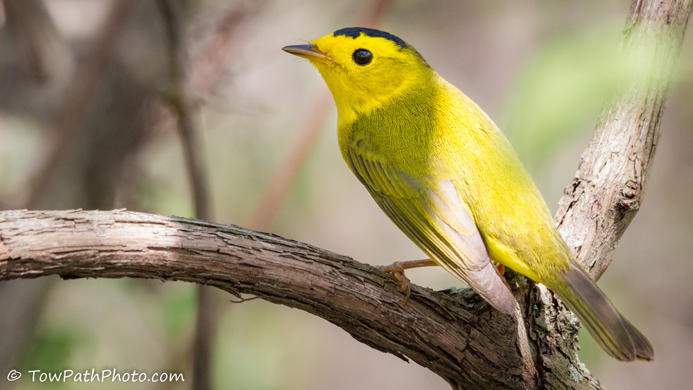 "- Wilson's Warbler (Wilsonia pusilla)Wilson's Warblers live in thickets near water. They eat insects, arachnids, and berries. Adults weigh 0.2-0.4 oz. and have a wingspan of 5.5-6.7 in. Their most common call is a kissy sounding ""chip."" Like the Nashville Warbler, Wilson's Warblers are considered ""Climate Threatened."" They are protected on the US Migratory Bird lists.Frequency: UncommonPhoto Credits: Kevin Vance"