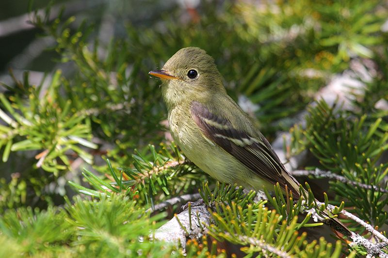"- Yellow-bellied Flycatcher (Empidonax flaviventris)Yellow-Bellied Flycatchers live in coniferous forests and swamplands. They eat insects and sometimes fruit. They have a wingspan of 7.1-7.9 in. and weigh around 0.3-0.6 oz. They are odd in the sense that they build their nests on the ground as opposed to in a tree. Their calls are a ""tu-wee"" and a ""che-lek."" They are protected on the US Migratory Bird lists.Frequency: RarePhoto Credits: Simon Pierre Barrette"