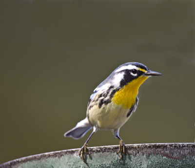 "- Yellow-throated Warbler (Setophaga dominica)Yellow-throated Warblers live in both deciduous and coniferous forests near streams or rivers. Their diet includes insects and arachnids. Their average wingspan is 8.3 in. and they weigh 0.3-0.4 oz. Yellow-throated Warblers sing ""teew-teew-teew-tew-tew-twi.""They are protected on the US Migratory Bird list.Frequency: RarePhoto Credits: Pete Gumaskas"