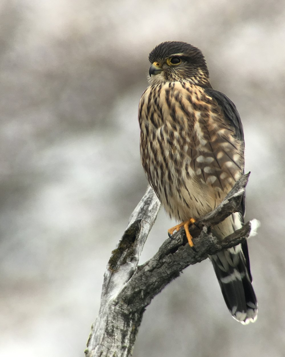 "- Merlin (Falco columbarius)Merlins generally live in open areas, but habitat depends on which region of North America they live. Their diet consists of smaller birds, insects, and small mammals such as bats and rodents. They have a wingspan of 20.9-26.8 in. and weigh 5.6-8.5 oz. Merlins sometimes make a call like the American Kestrel's ""klee-klee-klee,"" but usually do not make much noise. They are protected on the US Migratory Bird list.Frequency: RarePhoto Credits: Flickr User Seabamirum"