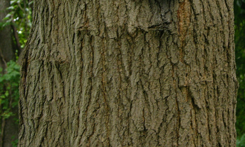 White_Mulberry_Morus_alba_Bark.jpg